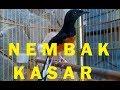 Murai Batu Medan Tembakan Kasar Ngerol  Mp3 - Mp4 Download