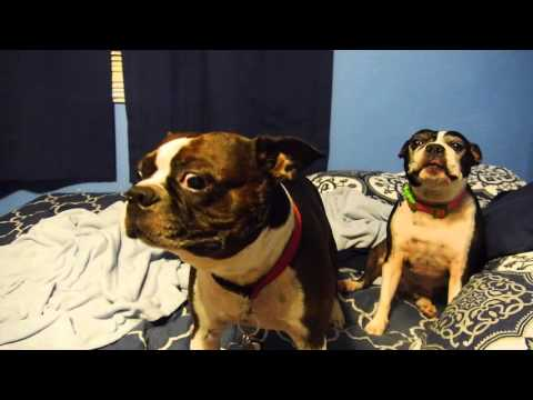 Boston Terrier excited to see New Star Wars movie