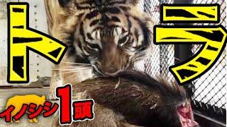 【観覧注意】駆除したイノシシまるまる一頭トラにあげてみた【社会問題】【食育】