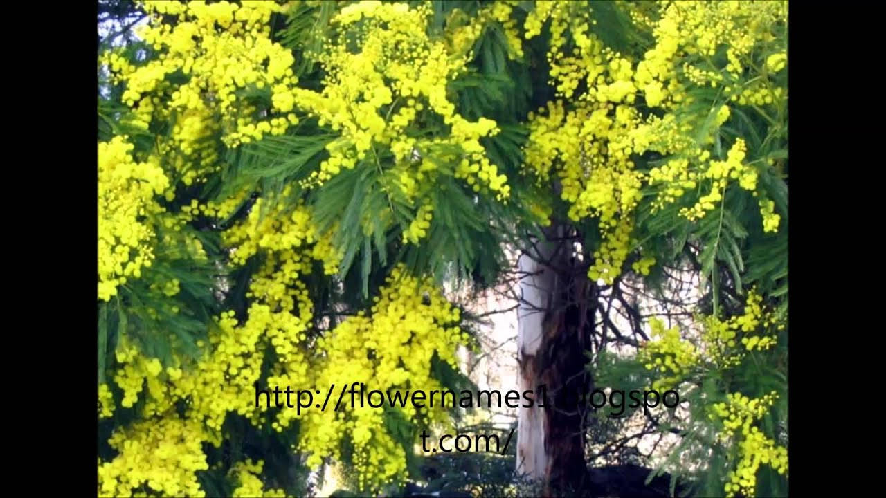 Acacia flower and acacia flower meaning youtube mightylinksfo