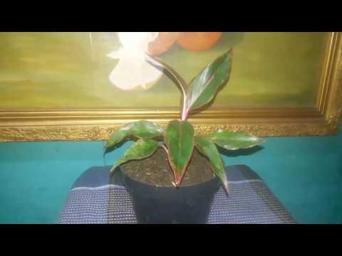 bunga-aglonema-lipstik-(siam-aurora)-tanaman-sri-rezeki