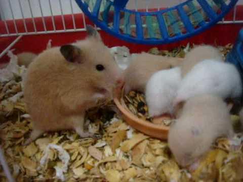 Bebes Hamster Com 17 Dias De Vida Aprendendo A Andar Na Rodinha 7 Filhotes