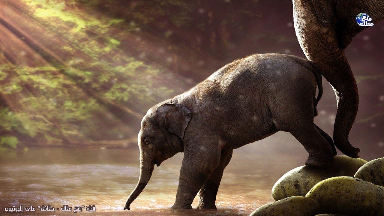 حقائق لا تعرفها عن الفيل | الحيوان المظلوم دائماً - ملك الغابة الحقيقي الذى لا ينسي ابداً