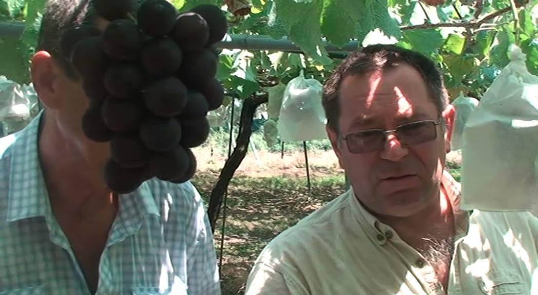 Международные красные сорта винограда. - YouTube