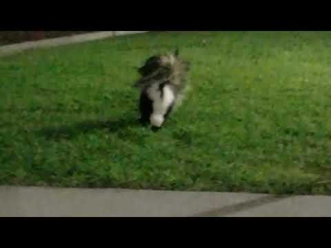 La habra high school skunk.