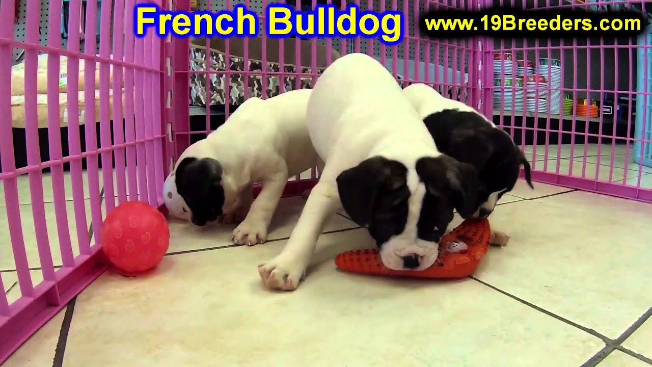 French Bulldog Puppies For Sale In Billings Montana Mt