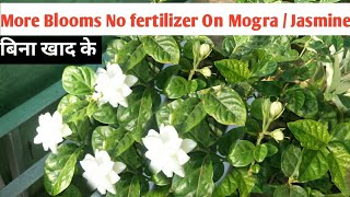 How to Get More Blooms On Jasmine / Mogra Without Fertilizer || With Uodats