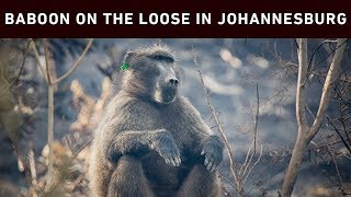 Residents in the northern and western suburbs of Johannesburg are urged to be on the lookout for a baboon that's on the loose.