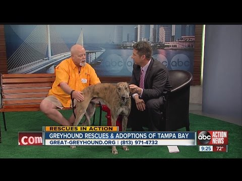 Rescues in Action: Chad of Greyhound Rescue and Adoptions of Tampa Bay, Inc.