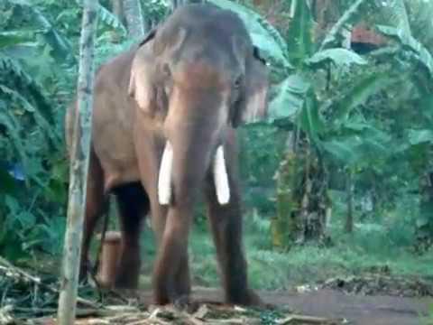 THECHIKOTTUKAVU RAMACHANDRAN IN MUSTH /kerala elephant