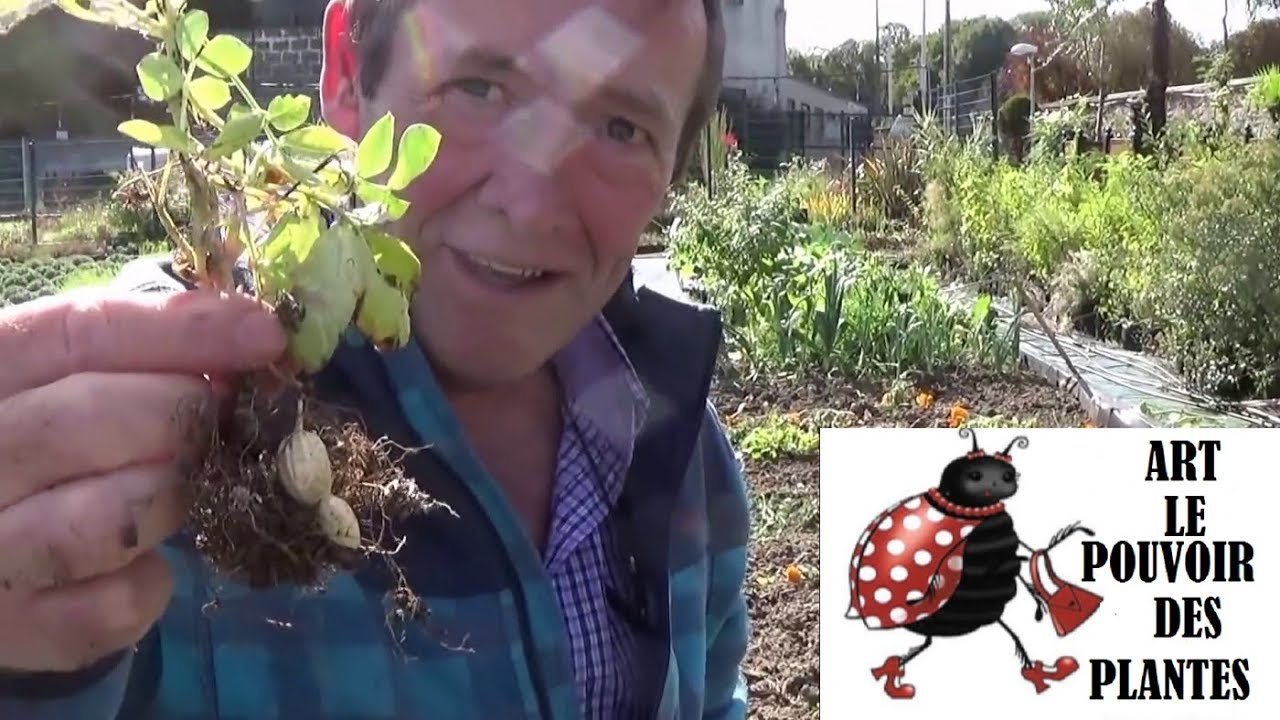 Conseil jardinage comment faire pousser des cacahu tes en ville pirouette arachide plante - Comment pousse les kiwi ...