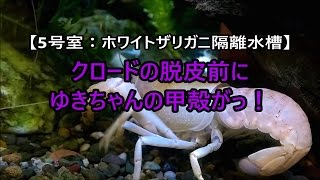 【ホワイトザリガニ:ゆきちゃんの甲殻がっ!脱皮間近ですか!?~ゆきちゃんの不思議ダンス】Crayfish thumbnail