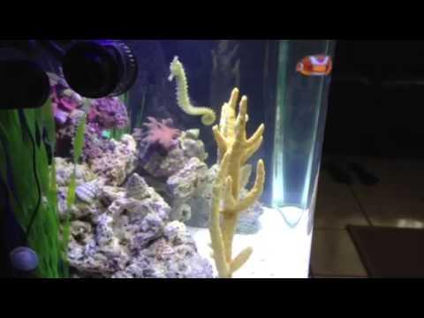Seahorse aquarium with chubby clown fish youtube for Seahorse fish tank