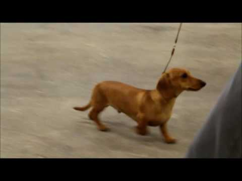 Mini Smooth Dachshund Best Puppy - Midland Counties 2016