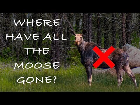 Moose Hunt - Red Lake, Ontario - Where Have All The Moose Gone?