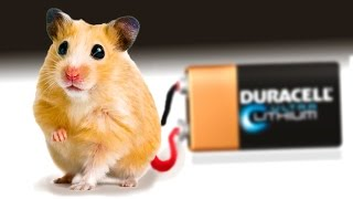 Experiment. Hamster generates Electricity!