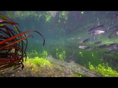 Salmon Smolt Ambush (At 4k Resolution)