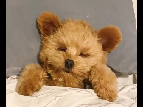 Oliver the puppy becomes Instagram star for his uncanny resemblance to teddy bear while