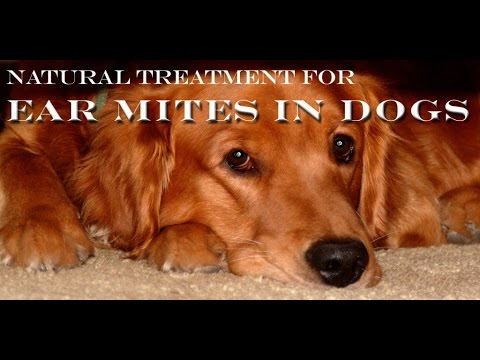Natural Home Remedy To Treat Ear mites For Dogs