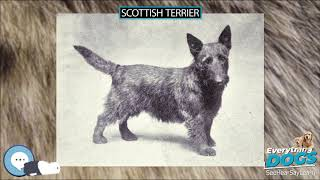 Scottish Terrier  Everything Dogs