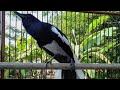 Kacer Gacor Kacer Konslet Bongkar Isian Kasar  Mp3 - Mp4 Download