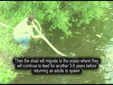 American Shad Restoration-Using National Fish Hatcheries to Conserve Shad
