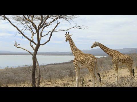 Saving Giraffes From Extinction