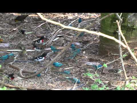 Indigo buntings South Texas April 2013 songbird fallout