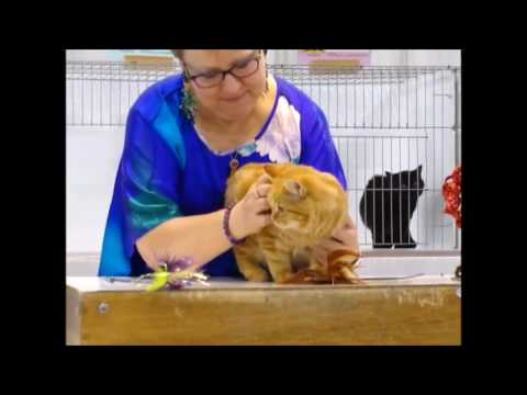 Dr. Elsy's CFA International Cat Show, 2016 - Manx Class Judging