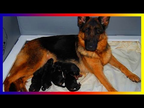 Must See ! German Shepherd Dogs Give Birth And Play With Her Puppies