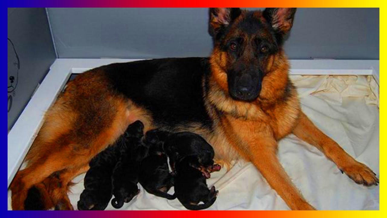 Must See German Shepherd Dogs Give Birth And Play With Her Puppies Youtube