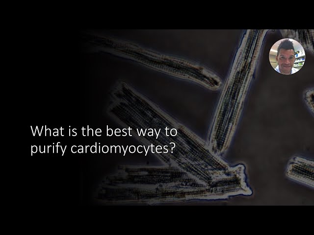 How to purify cardiomyocytes
