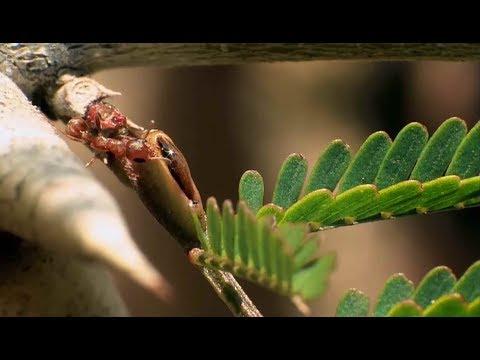 L'Acacia, une plante défendue par des fourmis