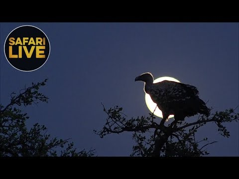 safariLIVE- Sunset Safari - September 24, 2018