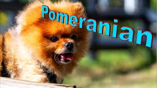 Pomeranian Dog Breed Info.  How to Choose Dogs