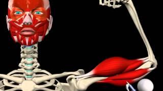 видео 36. Мышцы и фасции плеча: их анатомия, топография, функции,
