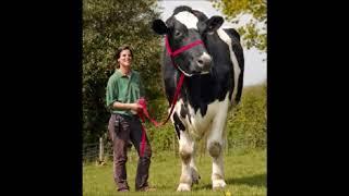 Jean Poiret La vache à mille francs HD+Paroles