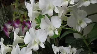 Chuyện tình hoa mười giờ - Hoàng Lan thumbnail