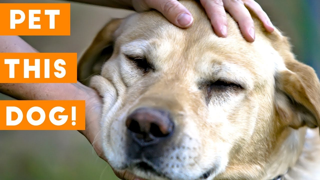 Pet This Dog - Cutest Puppies Getting Loved Compilation | Funny Pet Videos