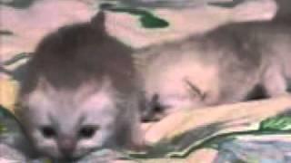 Ашантины котята.wmv