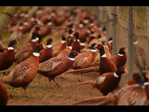 Hunting Time! Rounding Up The Birds At New York State's Last Pheasant Farm