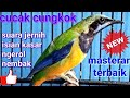 Masteran Kasar Cucak Cungkok Speed Rapat  Mp3 - Mp4 Download