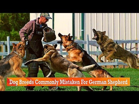 Dog Breeds Commonly Mistaken For German Shepherd