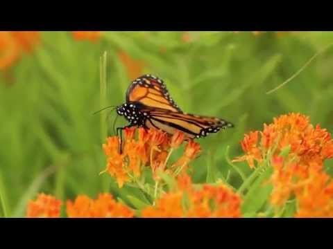 Milkweeds for Monarchs: Butterfly Milkweed