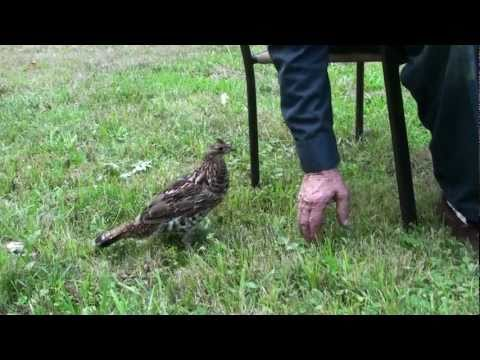 Wild Ruffed Grouse Is Like A Pet! 2011