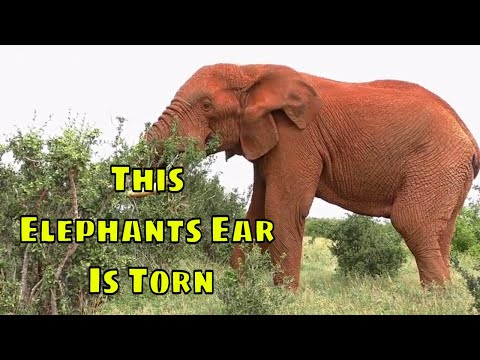 This Elephants Ear Looks Like A Fish Tail