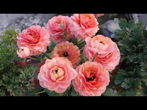 How To Save Ranunculus Plant For Next Season Easy Way To Save