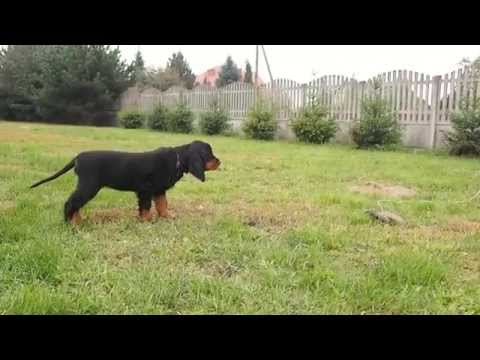 Gordon Setter puppy - Black Scottish Whisky Shadow Dog