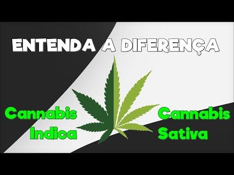 Cannabis Indica x Cannabis Sativa - ENTENDA A DIFERENÇA