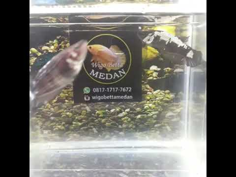 Ikan Cupang Hias Black Dragon Female Muantep - YouTube